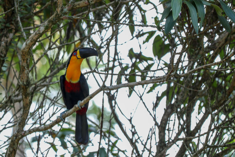 wild tucan Tucan Tree Colorful Plumage Beak Bird Perching Tree Branch Hornbill Multi Colored Animal Themes Tropical Bird Nature Reserve Wildlife Reserve