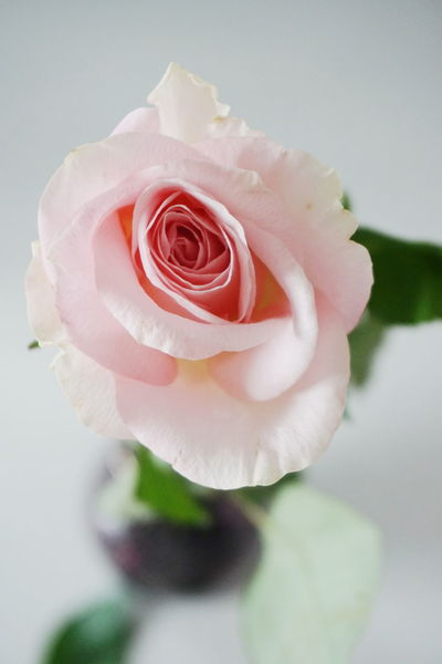 pink rose Rose - Flower Flower Freshness Flower Head Fragility Petal Indoors  Close-up White Background No People Nature Beauty In Nature Day Pink Color Flowers Freshness Pink Rose Pink Roses Roses Open Space Copy Space Pink Rose Flower Studio Shot Indoors  Beauty In Nature Millennial Pink