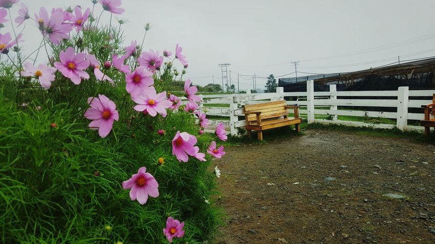 Somewhere at Desa Cattle (Sabah) Flower Pink Color Plant No People Nature Springtime Beauty In Nature Outdoors EyeEmNewHere City Life Desacattle Freshmilk Calf Pen Cows Day Rainy Days Grass Sky Fragility Tree Flower Head Millennial Pink EyeEmNewHere