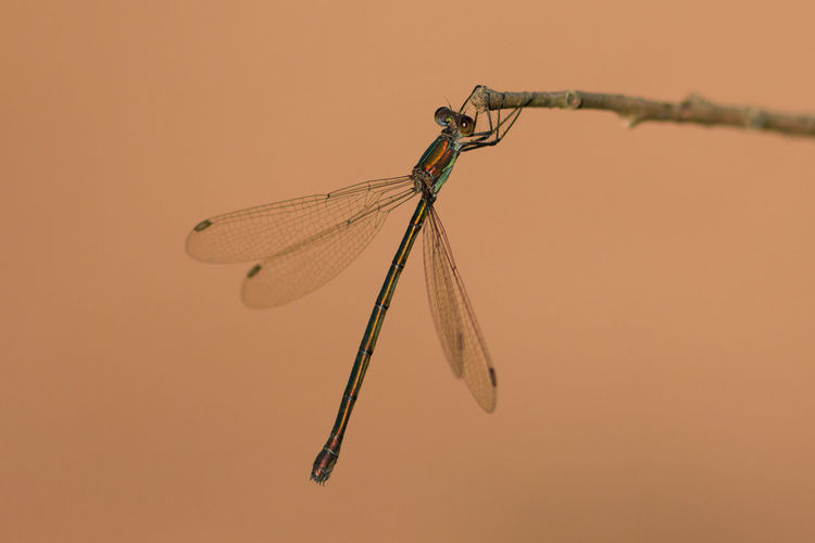 Animal Animal Themes Animal Wildlife Animal Wing Animals In The Wild Beauty In Nature Close-up Day Dragonfly Focus On Foreground Insect Invertebrate Nature No People One Animal Orange Color Outdoors Plant Stick - Plant Part Twig