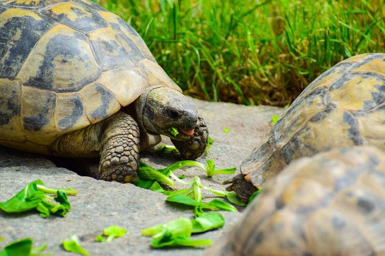Giant tortoises at zoo
