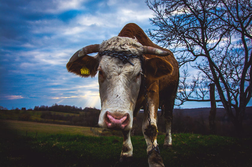 Agriculture Animal Themes Beauty In Nature Cloud - Sky Cow Day Domestic Animals Farm Field Grass Growth Kerber Landscape Livestock Mammal Nature No People One Animal Outdoors Rural Scene Sky Tree