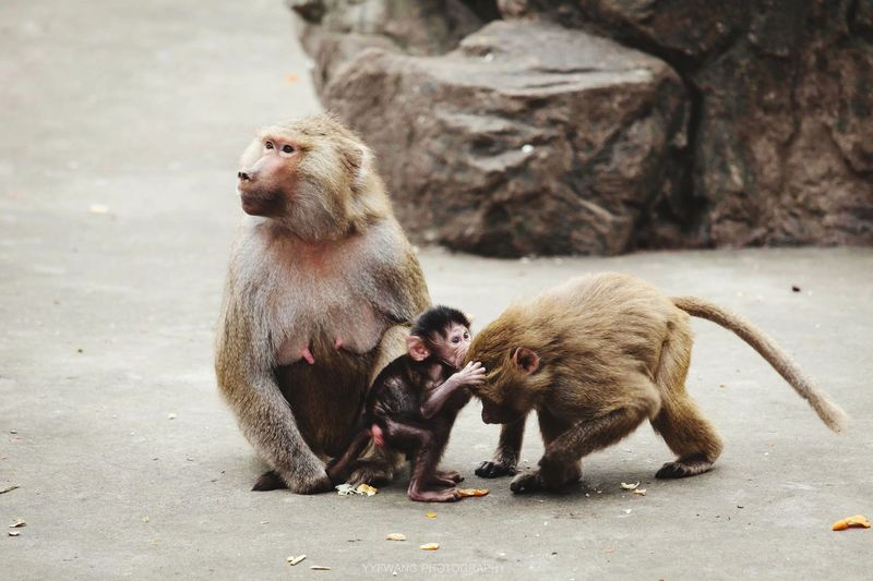 Monkey with infants on street