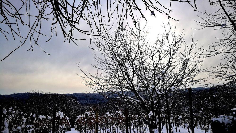 frozen vineyard Vineyard Croatia Ludbreg,Croatia Snow ❄ Low Angle View Sky