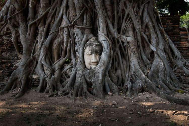 Buddha Face Amazing Place Ayutthaya Buddha Face Long Time Thailand Tree Amazing Thailand Amazing_captures Ancient Ancient Civilization Buddha Head Buddha Statue Face History Nature Religion Root Sculpture Statue Temple Temple Thailand Tree Tree Roots  Tree Trunk Water