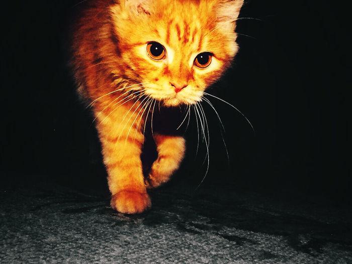 cat walk like a