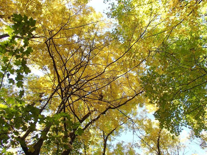 Couleurs d'automne - Fall Colors Foliage Fall Colors Autumn Plant Tree Low Angle View Growth Branch Beauty In Nature No People Nature Outdoors Sunlight Forest Yellow Tree Canopy