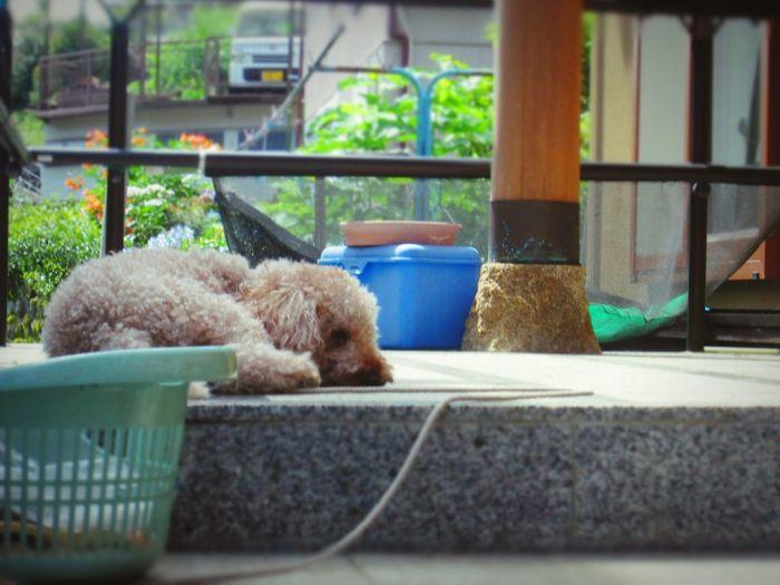 Spring Of Life Dog Toypoodles