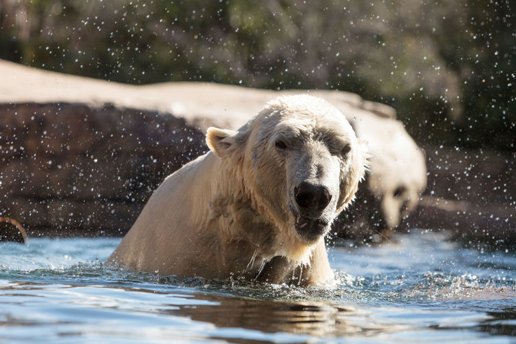 Polar bear swimming in lake