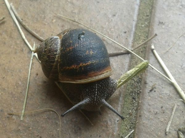 A snail close-up Snail Snail Collection Snail Photography Close-up Snails Pace Slow One Lonely Mollusc Peaceful Careful Slow And Steady Wins The Race