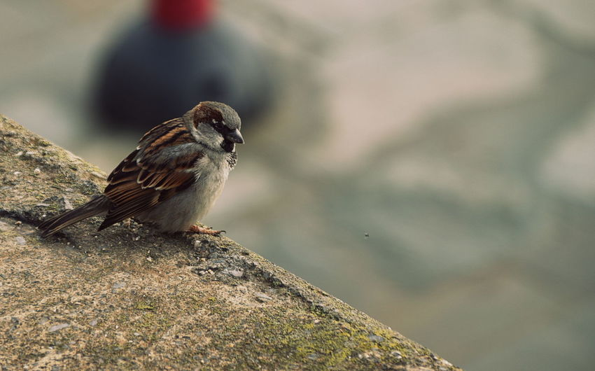 Animal Themes Animal Wildlife Animals In The Wild Bird Close-up Day Focus On Foreground Nature No People One Animal Outdoors Perching Sparrow