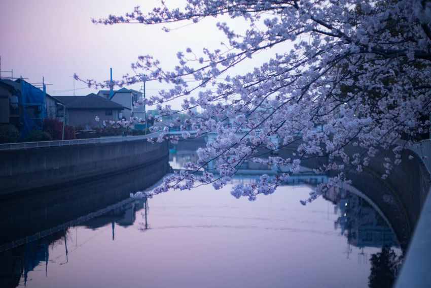 Calm Beauty In Nature Cherry Blossom Flower No People Outdoors River Springtime EyeEmNewHere