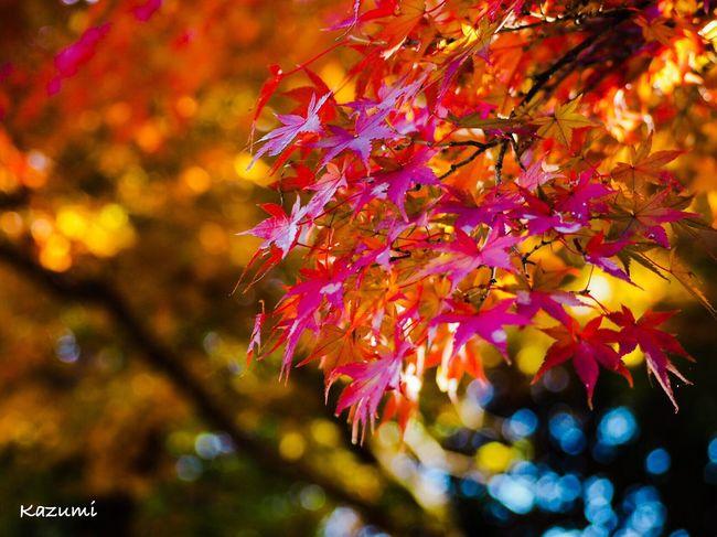 キラキラ紅葉🍁 Autumn Change Leaf Maple Leaf Maple Tree Beauty In Nature Nature Tree Outdoors Multi Colored Maple Day Tranquility Scenics Close-up Growth Autumn🍁🍁🍁 Autumn Autumn Collection Beauty In Nature Autumn Leaves MapleWoods 高幡不動尊 Tokyo Japan