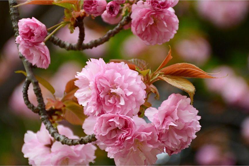 八重桜🌸 Nikon EyeEm Nature Lover 桜 Cherry Blossoms Naturelovers Flowers Nature_collection Let's Do It Chic! Spring EyeEm Best Shots