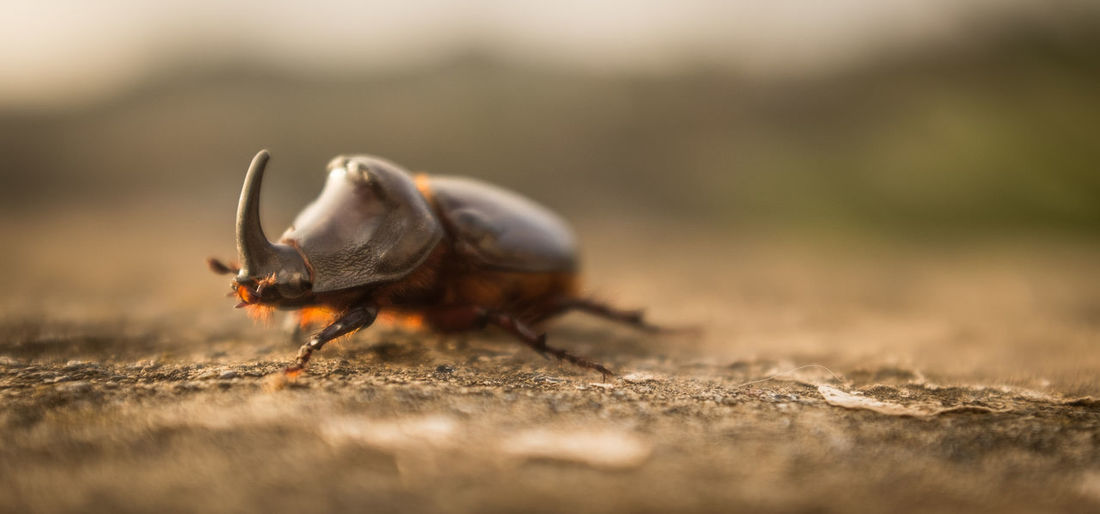 A majestic European rhinoceros beetle! European Rhinoceros Beetle Animal Themes Animal Wildlife Animals In The Wild Beetle Beetle Bug Beetle Insect Nature Close-up Extreme Close-up Invertebrate One Animal Rhino Beetle Selective Focus