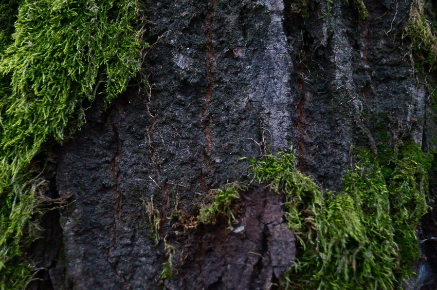 Bark Bark Of A Tree Bark Texture Bark Texture Background Barks Of A Tree Beauty In Nature Close-up Cortex Cortex Tree Green Musk Moss Moss & Lichen Moss Close Up Moss Covered Tree Moss In Macro Moss On Trees Musk Musk Green Musk On Tr Nature No People Outdoors Tree Tree_collection  TreePorn