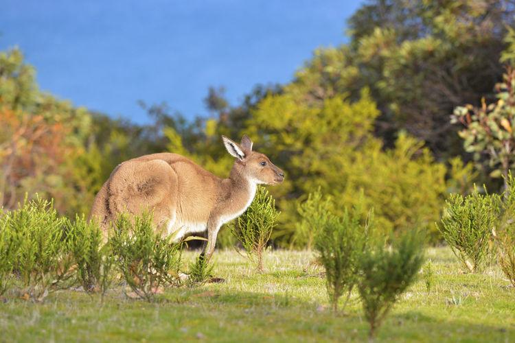 Grass Animal Themes Animal Wildlife Animals In The Wild Australian Native Animals Field Herbivorous Kangaroo Marsupial Nature One Animal Outdoors Sunlight EyeEmNewHere