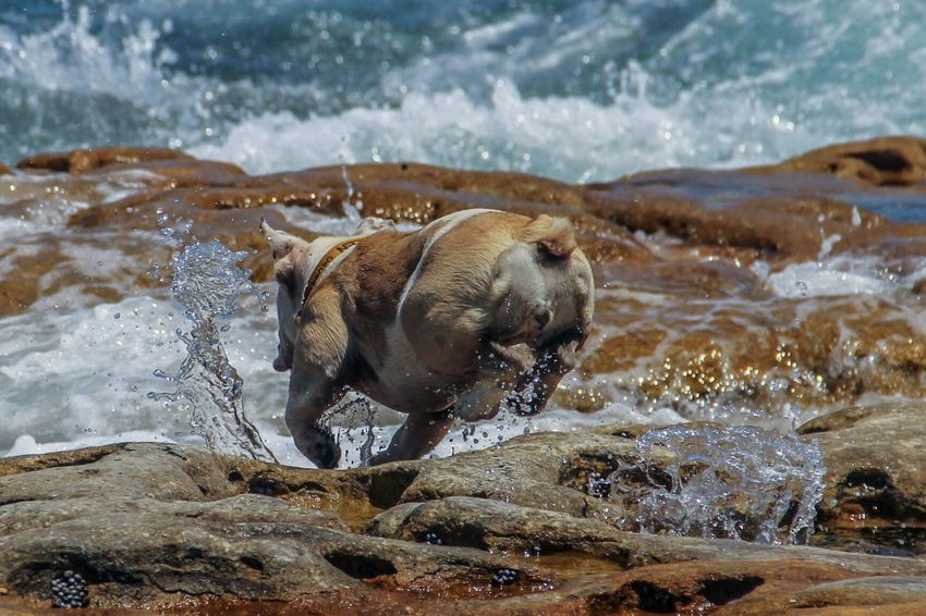 Enjoy The New Normal Water Splashing Sea Motion Wave Animal Themes Nature Dog Water Splash Australia Sydney Outdoors No People Day Beauty In Nature