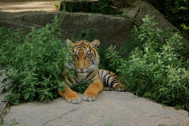 Tiger relaxing in a field