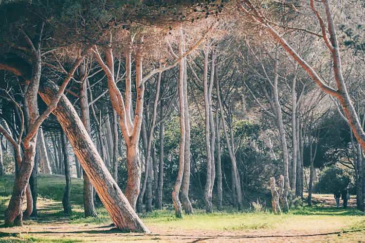 Fantastic ancient pine forest of central Tuscany, Tuscany, Italy Tuscany Tuscany Italy Tranquil Scene Landscape Scenics - Nature Forest Tranquility Plant Italy Italy❤️ Beauty In Nature Land Tree Tree Trunk Trunk Growth Environment Pine Tree WoodLand Non-urban Scene Nature Outdoors
