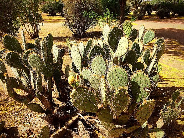 I would not want to trip into this batch of cactus🌵😳 West Wetlands, Yuma, AZ Nature Trails Park Edible Plant Plant Photography IPhone Photography Ouch Spiny Cactus Nature Day Sunlight Outdoors Beauty In Nature Sunny Tranquility Plant