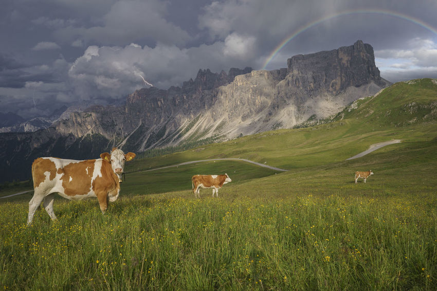 Colle Santa Lucia Dolomites Farm Animals Field Grass Nature Storm Alps Clouds Cow Italy Mountain Mountain Range Rainbow San Vito Di Cadore Thunder Passo Giau Sky Outdoors No People Mammal Landscape Day Cattle Bovine Lost In The Landscape