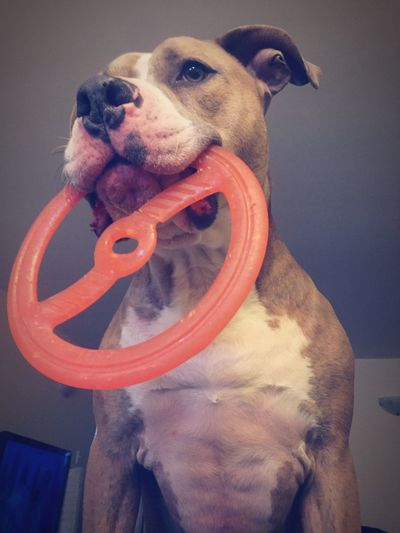 Dog American Staffordshire Terrier Animal Themes Pets Animal Domestic