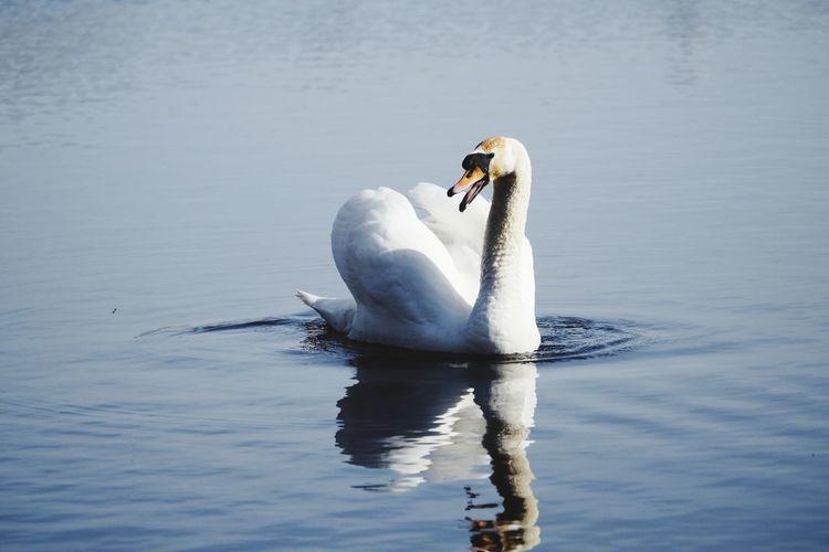 Bird Water Swimming Lake Swan Mute Swan Swimming Animal Freshwater Bird Wild Animal Adult Animal Water Bird White Swan