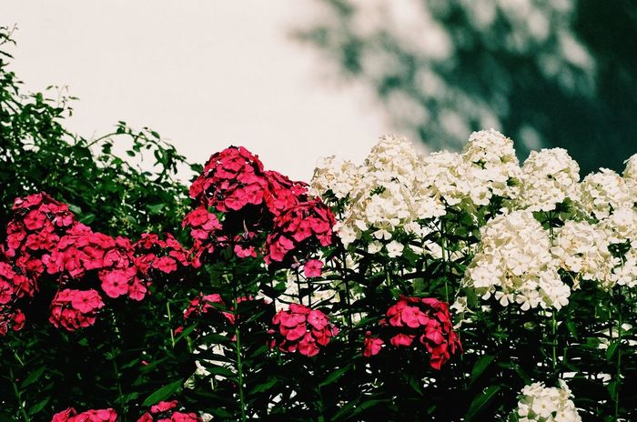 Dramatic flowers on film in the Czech Republic Vintage Inspired Vintage Shadows Dramatic 35mm Film 35mm Filmcamera Filmisnotdead Film Photography Film Freshness Pink Color No People Lilac Spring Petal Bougainvillea Plant Blooming Flower Head Outdoors Day Close-up EyeEmNewHere