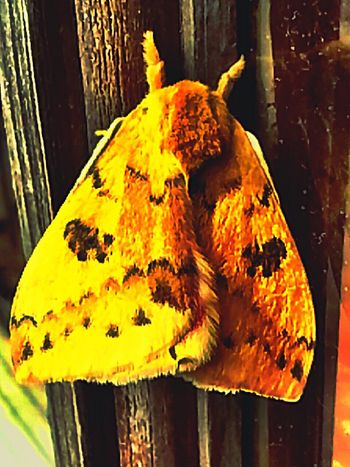 Moth Tiger Moth Yellow Insect Insect Photography Insects  Insect_perfection Insects Collection Insect Photo Insect Macro  EyeEm Nature Lover Springtime EyeEm Gallery Eyem Gallery Magic Mothernature Oklahoma Oklahoma Nature Mother Nature My Favorite Photo