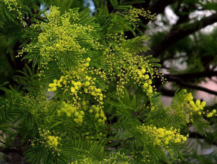 Nature Mimosa