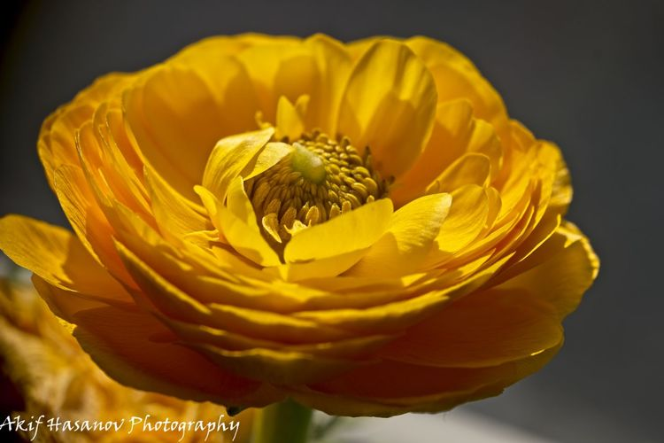Beauty In Nature Close-up Flower Flower Head Fragility Freshness Petal Pollen Studio Shot Yellow