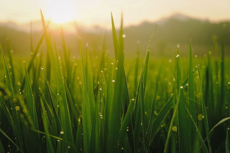 rice Cereal Plant Water Backgrounds Agriculture Rural Scene Rice Paddy Sunlight Field New Life Closing RainDrop Cultivated Land Blade Of Grass Drop Irrigation Equipment Monsoon Rainy Season Ear Of Wheat Plantation Lush - Description Dew Foggy Water Drop Crop  Rain Droplet Rainfall Wet Sprinkler Agricultural Field