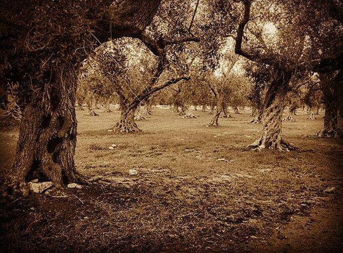 Salento Ortelle Olivo Campagna Natura Nature Italia Puglia Italy Olive