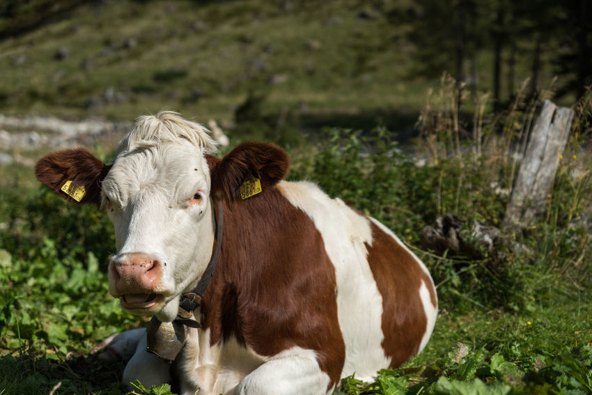 Alm Blick In Die Kamera Braun Fell Haustier Im Gebirge Kopf Kuh Nahansicht Natur Schwarzensee Selektiver Fokus Steiermark Weiss Österreich