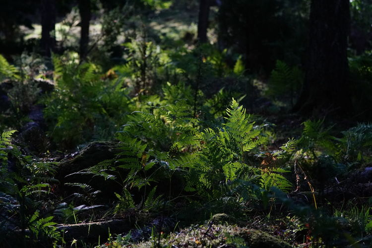 Beauty In Nature Day Fern Field Focus On Foreground Forest Green Color Growth Land Leaf Moss Nature No People Outdoors Plant Plant Part Rainforest Selective Focus Tranquility Tree WoodLand