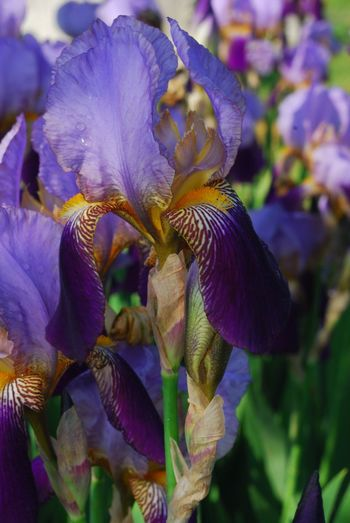 Flower Nature Beauty In Nature Growth Close-up Plant Petal No People Fragility Purple Flower Head Day Freshness Outdoors Iris - Plant Iris Flower New Jersey Photography Beauty In Nature New Jersey Blooming