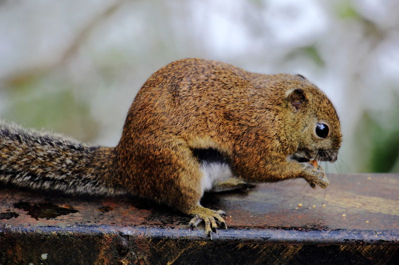 The Bornean Black-banded squirrel which is endemic to the mountain region of Mount Kinabalu in Sabah, Malaysia. Borneon Black-banded Squirrel Kinabalu National Park Kundasang Kundasang, Ranau Sabah Mount Kinabalu Animal Wildlife Animals In The Wild Endemic Malaysia Mammal Nature One Animal Ranau Sabah Squirrel
