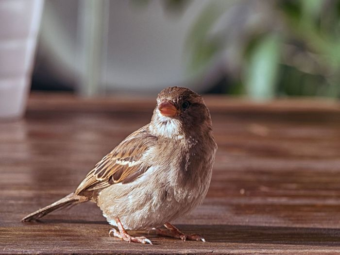Close-Up Of Sparrow On Wooden Table