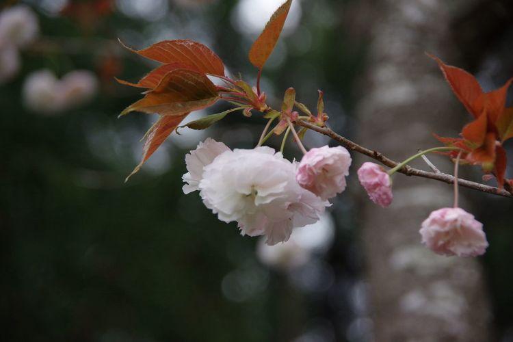 Ichihara Pentax K-3 Blossom 春 桜 Cherry Blossom Cherry Tree 千葉県市原市奈良 ここには大仏様がいらっしゃいます。