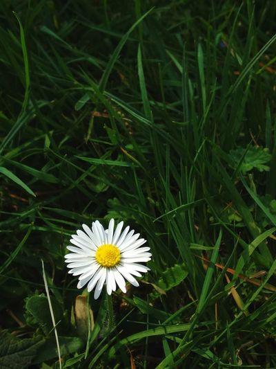 daisy Single