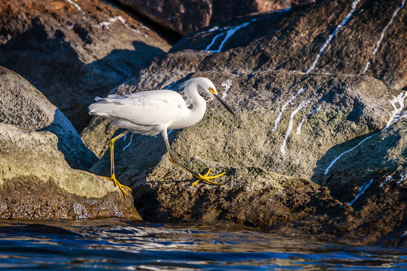 Water Animal Wildlife Animal Themes Animals In The Wild Animal Bird Vertebrate Rock - Object Solid Rock One Animal Day Nature Lake No People Waterfront Perching White Color Zoology Snowy Egret