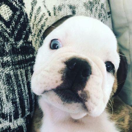The Week On EyeEm Dog Pets English Bulldog Blue Eyes Looking At Camera