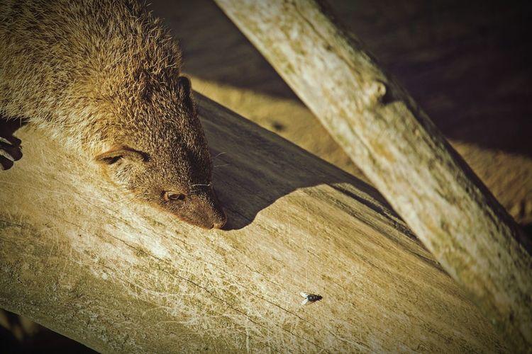 High Angle View Of Mongoose On Wood