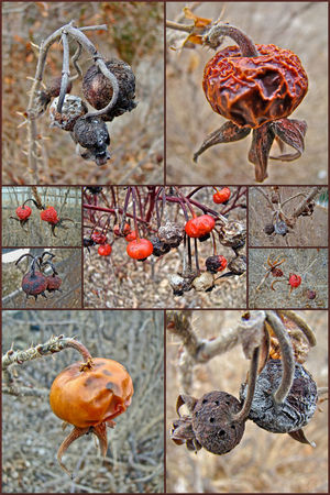 These rose hips hung onto their mother plant for the whole winter. Birds and even some small animals will eat these, and when fresh they make wonderful jelly. Close-up Dried Seeds Focus On Foreground Fruit Hanging Metal No People Red Rose Hips Rusty Still Life Wild Roses Wintertime