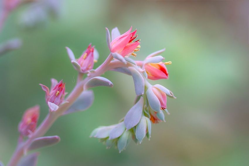 Macro Nature Flower EyeEm Nature Lover Pink Blooming Close-up Echeveria Succulents Succulent Plant Focus On Macro Beauty From My Point Of View Getting Inspired Still Life EyeEm Gallery