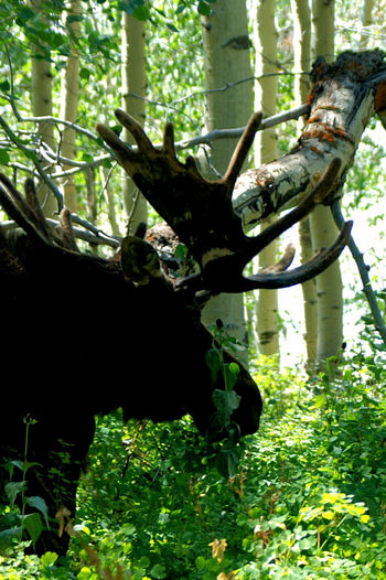 Beauty In Nature Branch Camp Ground Camping Day Freshness Green Trees And Leaves Growth Montains    Moose Moose In The Trees Nature No People Outdoors Tree Tree Trunk