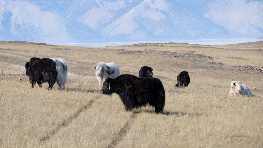 Yaks in a field
