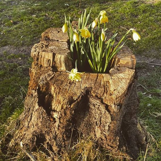 Er.. Treestumpfilledwithdaffodils Will be surprised if that hastag been used before ☺ Igersmersey Ig_liverpool Spring Sunshine Sunset Daffodil Tree_magic Tree_captures TreePorn Treestump Treescollection Rsa_trees Nature_shooters Flowers Wildflowers Ukpotd Photooftheday Ukwildlifeimages Uk_wildlife_images Fiftyshades_of_nature Flower_daily Urbannature Springwatch