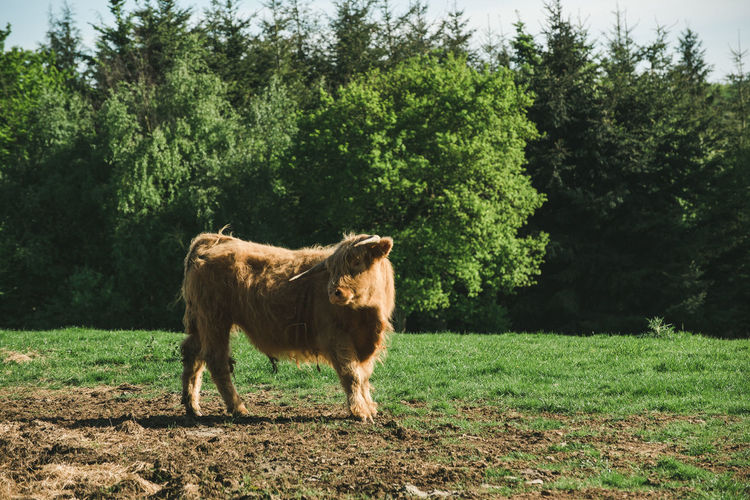 Baby cow standing in a field